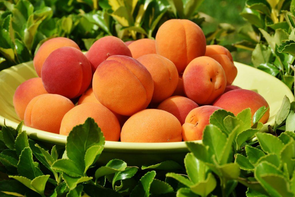 apricots-harvest